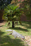 Crocodile. Lays near the tree Royalty Free Stock Photo