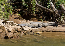 Crocodile lies on the bank of the river Royalty Free Stock Photography