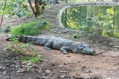 Crocodile lies on ground near a swamp Stock Images