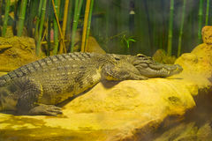 Crocodile. Lies on a stone in the pond shore Stock Images