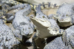 The crocodile lies on water Stock Images