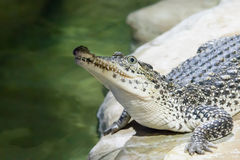 The crocodile lies on water Royalty Free Stock Photography