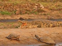 Crocodile Royalty Free Stock Image