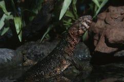 Crocodile lizard Stock Images