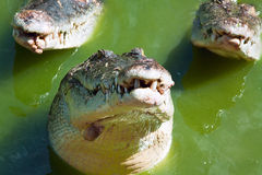 Crocodile looking around Royalty Free Stock Photography