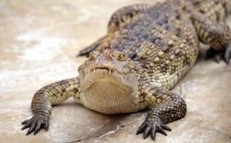 Crocodile looking camera Stock Photo
