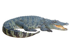 Crocodile looking something with Clipping Path Stock Image
