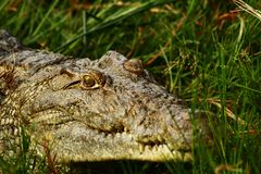 Creepy Crocodile Smile. A crocodile looking at you hiding in the shoreline grass royalty free stock photography