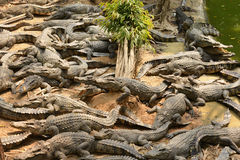 Crocodile, Stock Images