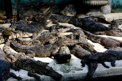 Crocodile. A lot of The Crocodile are  Sleep in sun light Stock Images