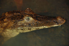 Crocodile Lurking Royalty Free Stock Photography