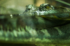 Crocodile Lurking Stock Photos