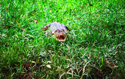 Crocodile lurking in the grass Royalty Free Stock Image