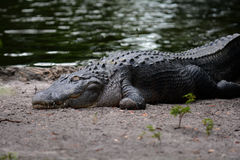 Crocodile. Lying on the edge of the everglades sunning himself Stock Photo