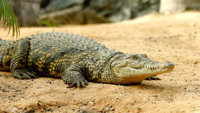 Crocodile lying on the ground in focus while a second crocodile sneaks in the background stock footage