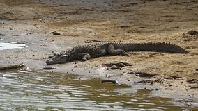 Crocodile lying near the lake royalty free stock photography