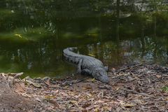 Crocodile Lying Near the Pond royalty free stock images