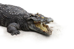 Crocodile. Lying with open mouth stock images