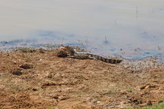 Crocodile lying on river bank. Yala National Park, Sri Lanka Stock Photography