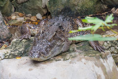 A Crocodile. Lying on the Rock Royalty Free Stock Images
