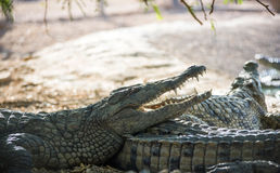Crocodile lying on the shore Stock Images