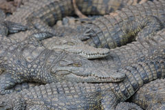 Crocodile lying on top of each other Royalty Free Stock Photo