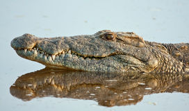 Crocodile lying in water Royalty Free Stock Photography