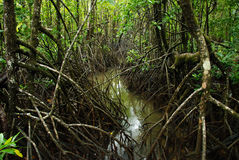 Crocodile mangroves, Queensland,Australia. Thick mangroves near Cape Tribulation. Australia Stock Images