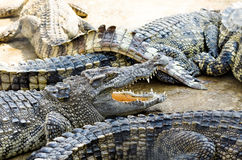 Crocodile Royalty Free Stock Photos