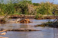 Crocodile market on Lake Chamo. NP Nechisar Stock Photo
