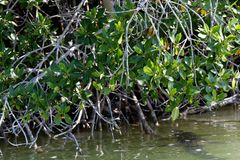 Crocodile in mangroves. Crocodile hidden in mangroves, paddling beneath the lagoon surface, an ominous shade in water stock photos