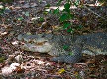 Crocodile in Mexico Riviera Maya. On soil stock photos
