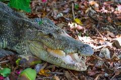 Crocodile in Mexico Riviera Maya. On soil stock photo