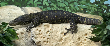 Crocodile monitor 1 Royalty Free Stock Photos