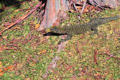 Crocodile Monitor Stock Photos