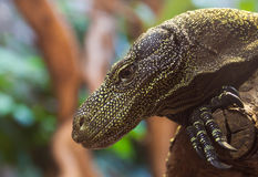 Crocodile Monitor Lizard Royalty Free Stock Photography