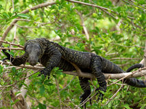 Crocodile Monitor Royalty Free Stock Photo