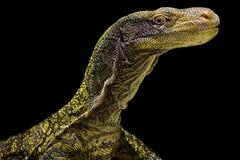Free Crocodile Monitor Varanus Salvadorii Royalty Free Stock Photos - 156616608