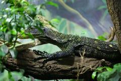 Crocodile monitor (Varanus salvadorii). Also known as the Salvadori's monitor. Wildlife animal Stock Images