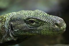 Crocodile monitor Varanus salvadorii. Also known as the Salvadori`s monitor. Wildlife animal Stock Photos