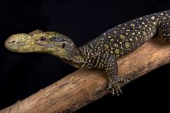Crocodile monitor Varanus salvadorii stock images