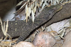 Crocodile monitor Stock Photo