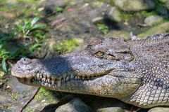 Crocodile mouth Stock Images