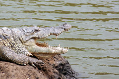 Crocodile with mouth open Stock Images