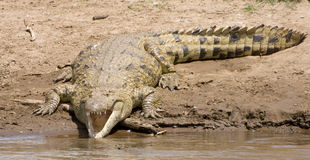 Crocodile with mouth open. Large crocodile basking at the side of the Mara river in Kenya Royalty Free Stock Photo
