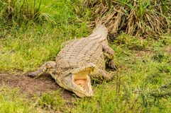 Crocodile mouth open in Nairobi royalty free stock images