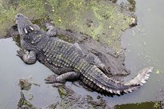 Crocodile on mud floor in forest Royalty Free Stock Photo