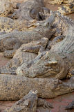 Crocodile multiple sleep in water Stock Image