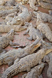 Crocodile multiple sleep in water Stock Photo