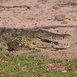 Crocodile, Namibia, Animals, Safari Stock Images